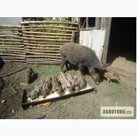 Поросята породы Мангал, поросят диких свиней