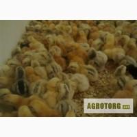 Цыплята, суточные и подрощенные. Редбро (Redbro)