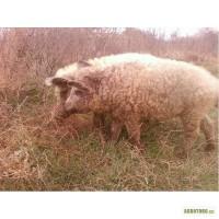 Мангалица свиньи мангал( свиноматка и хряк)
