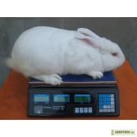 Кролики - Белый Паннон, привиты, самовывоз