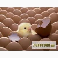 Яйця інкубаційні качині та гусячі