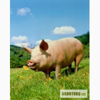 Покупаем свиней живым весом в большом количестве на постоянной основе
