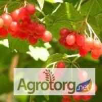 Калина, ягода