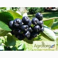 Купить арония черноплодная, ягода