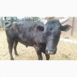 Продам быка живым весом