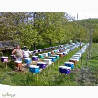 Приймаю замовлення на бджоломатки карпатки на 2017р