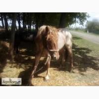 Продам лошадь(жеребец Советский тяжеловоз)