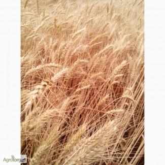 Пшеница озимая Куяльник