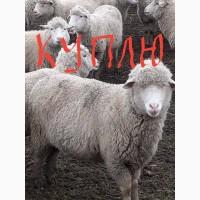 ПРЕДЛОЖИТЕ овец породы меринос
