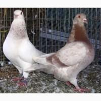 Куплю голуби породи тексан