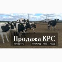Продаю коров дойных, нетелей молочных пород 1 500 голов КРС