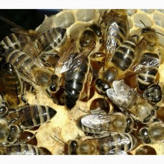 Продам 150грнПлодні Пчеломатки карпатки 2019