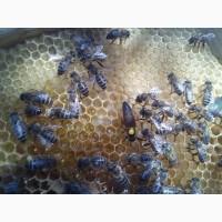 Плодные Пчеломатки карпатской породи вучковский тип F1 УС неплодки 100