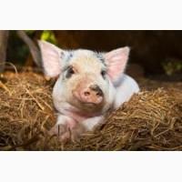 Продам свиней живою