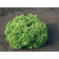 Продам салат городній Естроза
