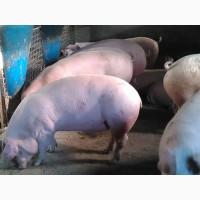 Продам свиней Бекон 60 голов. Весом 120-140 кг