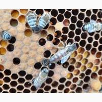 Продам плодных пчеломаток 2021