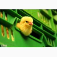 Бройлер кооб500, редбро, мастер, утята, индюшата. суточный. цыпленок. Гуси. Инкуб. яйцо