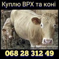 Куплю ВРХ, бики та коні. У Вінницькій, Хмельницькій, та сусідніх областях