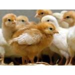 Продам подрост цыплят Тетра и Бройлер, в возрасте 1 мес.