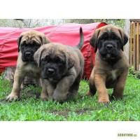 Продам щенка английского мастиффа (mastiff)
