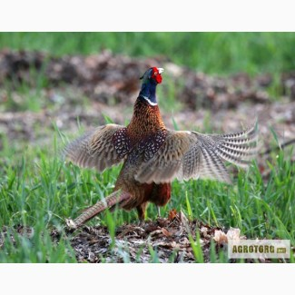 Продам фазана обыкновенного