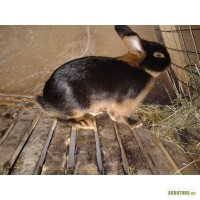 Продам кролики черно-огненные