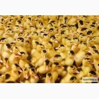 Молодняк птицы оптом и в розницу