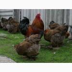 Продам цыплят суточных и месячных брама куропатчатая и светлая