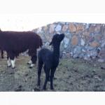 Лама, Альпака Lama, Alpaca Huacaya/ Suris