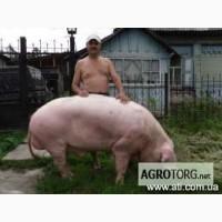 Продам свинок породы ландрас