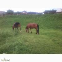 Продам молододую пару лошадей / Продам молоду пару коней