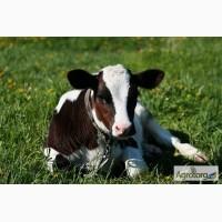 Продаж молочних бичків на постійній основі