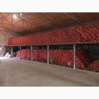 Продам лук, сорт Медуза, Херсонская область (с.Музыковка)