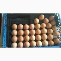 Яйцо для инкубации Редбро