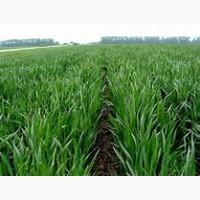 Озима пшениця ОМАХА 1р (двур)
