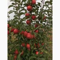 Продам сортові яблука Еліза, Флоріна