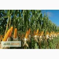 Посевной материал Кукуруза Манифик Оргинатор Семанс Франция ...
