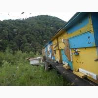 Пчеломатки Карпатки из Карпатских полонин
