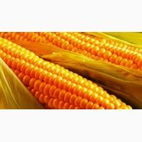 Кукуруза. Крупнооптовая закупка. Вся Украина