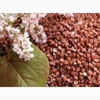 Buckwheat of export