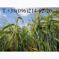 Семена ярового шестигранного ячменя Галичанин элита, 50кг