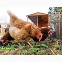Реалізуємо инкубационные яйца Редбро