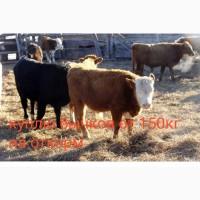 Куплю быков тёлок от 150 кг