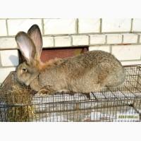 Продам кроликов Бельгийский Великан, Новозеландский Белый.