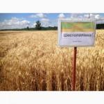Семена озимой пшеницы Шестопаловка от оригинатора (супер элита)