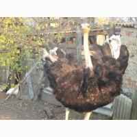 Продам африканского страуса