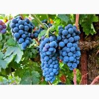 На опт продажа винограда