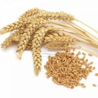 Закупаем 2-3 кл пшеницы