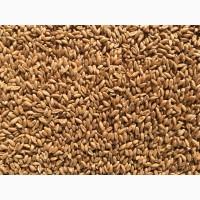 Пшениця для виготовлення борошна та крупи (зерно в мішках по 25 кг.)